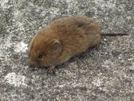 A vole but is it a bank or a field vole?