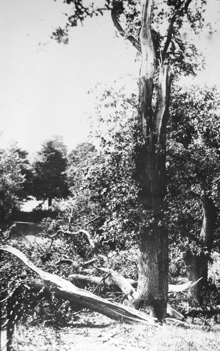 Tree struck by lightning in the grounds of Clyffe Hall - 1927