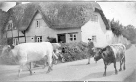 Cows being driven past Kandy Cottage in Easterton in about 1920