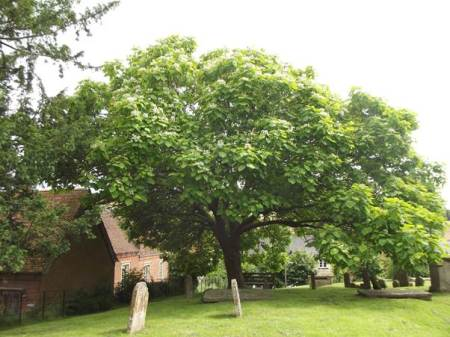 The Coronation Tree in Market Lavington. This catalpa or Indian bean tree was planted in 1953.