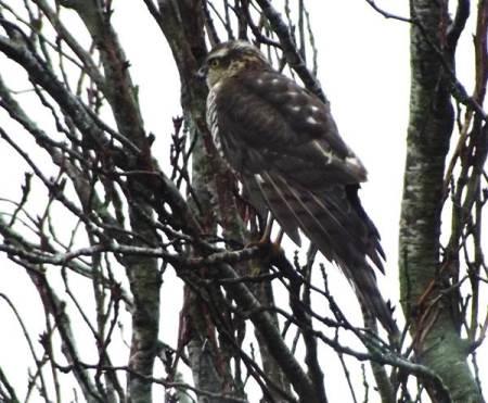 A sparrowhawk in Market Lavington - November 2014