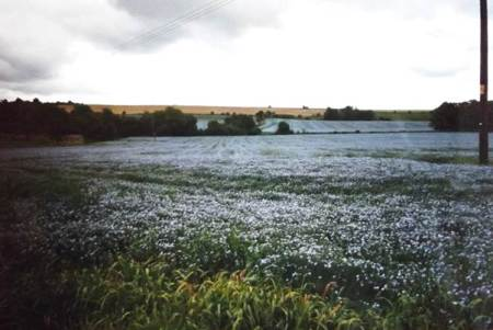 Flax growing in Market Lavington in the year 2000