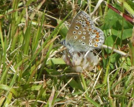 Underside of a common blue butterfly in Market Lavington