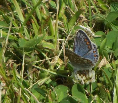 The top surface of the wing is quite blue - even on this female