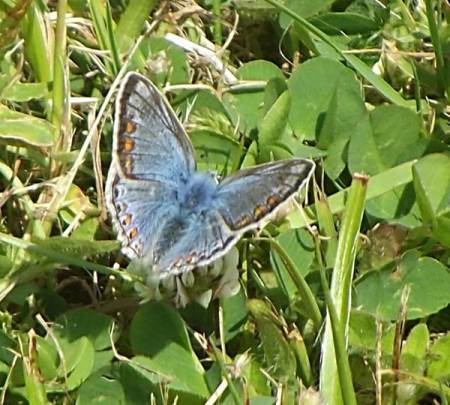 Blue wings on the common blue